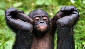 Описание обезьян бонобо