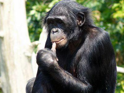 Обезьяна бонобо: особенности вида карликовых шимпанзе