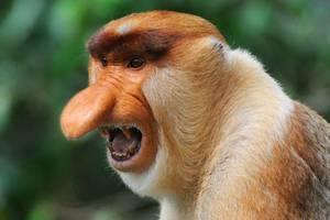 Повадки обезьян носач