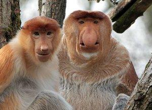 Носачи - редкий вид обезьян