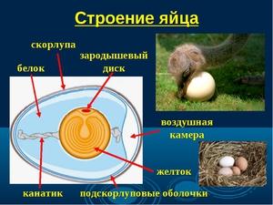 Описание строения яйца птицы