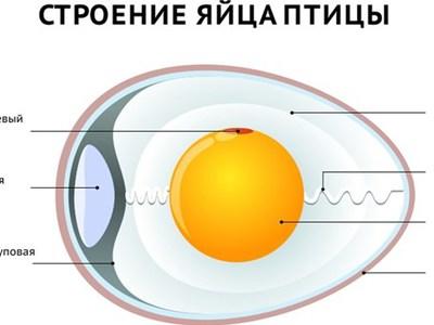Описание и характеристика строения яйца птицы