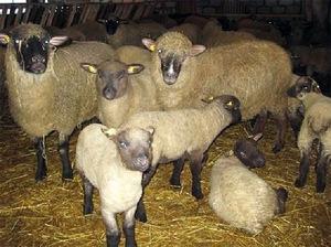 Особенности породы овец