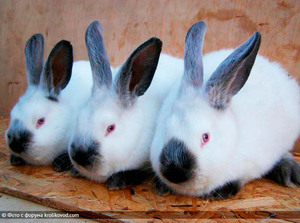 Калифорнийский кролик - особенности