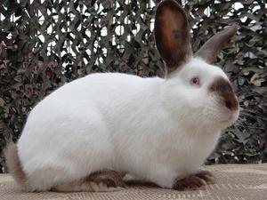 Калифорнийский кролик - возможные расцветки