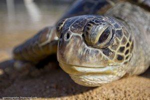 Голова большой черепахи