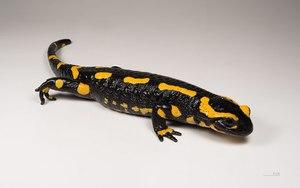 Размножение огненной саламандры