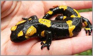 Рацион огненной саламандры