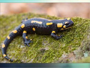 Интересные факты об огненной саламандре