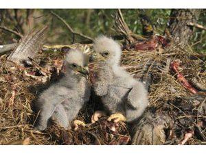 Размножение орлов-белохвостов