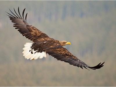 Орлан-белохвост – описание птицы, где живёт орлан-белохвост