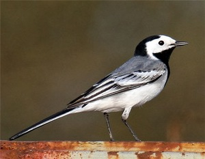 Особенности птицы трясогузки