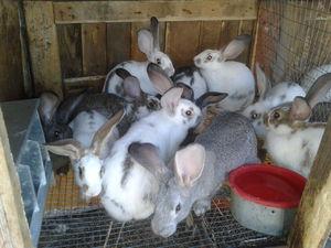 Чем кормят кроликов