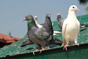 Как защитить балкон от голубей