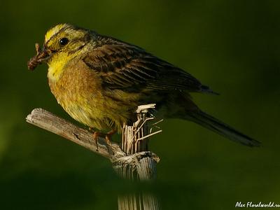 Овсянка обыкновенная, чем питается птица
