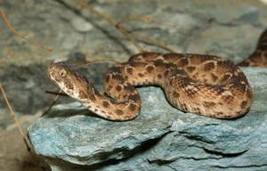Образ жизни Песчаной змеи эфы