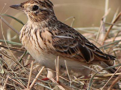 Жаворонок полевой. Певчая птица