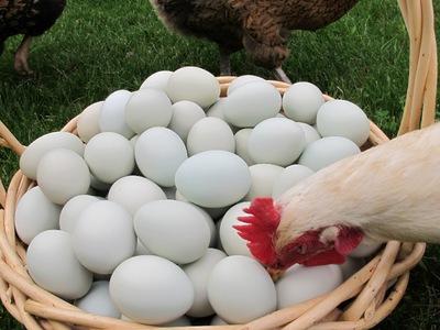 Почему куры могут есть свои яйца: что делать