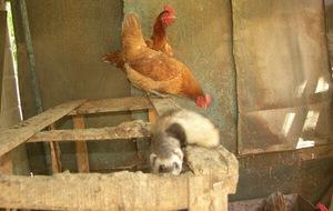 Как защитить кур от хищников