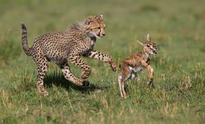 Какой образ жизни ведут гепарды