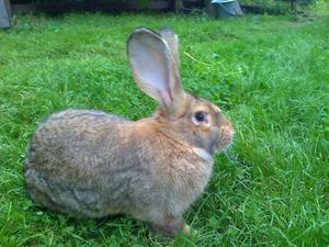 Большой кролик Бельгийский фландр