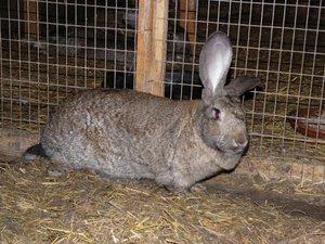 Внешние вид кроликов
