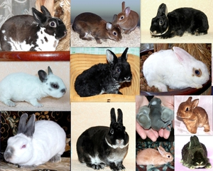 Пуховые породы кроликов