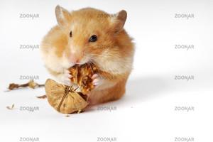 Чем кормить хомяка