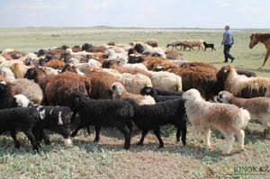 Как разводить эдильбаевских овец