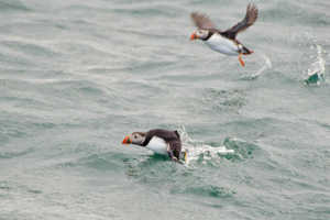 Тупики почти все время проводят в океане, на сушу они выбираются ненадолго