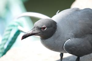 Темная чайка