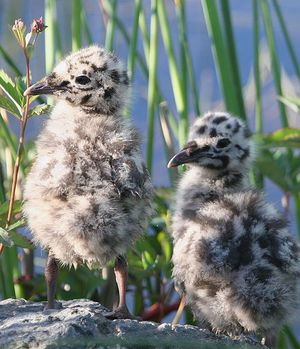 Птенцы чайки
