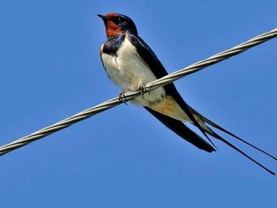 Птица ласточка. Как она выглядит и чем питается