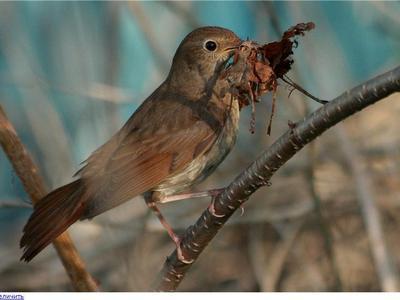 Мухоловка: среда обитания, образ жизни, рацион