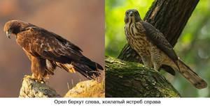 Чем питается орел