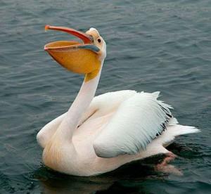 Смешной пеликан