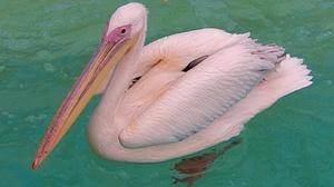 Чудесный розовый пеликан
