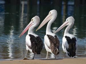 Три пеликана