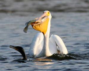Пеликан на воде