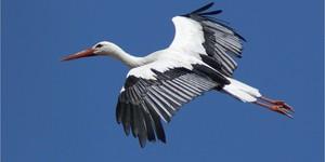 Белый аист в полете - фото