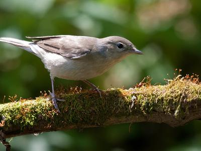 Птица садовая славка: маленький солист лесного театра