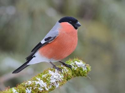 Птица снегирь: как выглядит и чем питается
