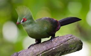 Птица турако описаниие