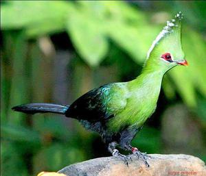Чем питаются птицы турако