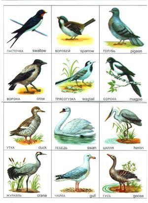 Средняя полоса России и птицы, ее населяющие