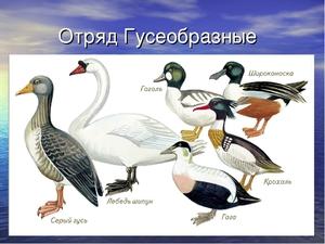Птицы отряда Гусеобразные
