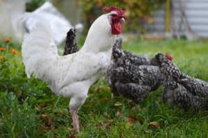 Птицы этой породы миролюбивы и легко становятся ручными