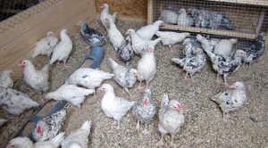 Внимательно выбирайте цыплят - у них должны быть видны характерные признаки породы
