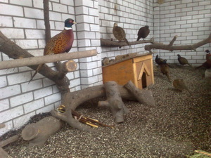 Как содержать фазанов