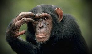 Шимпанзе - насколько они умны?